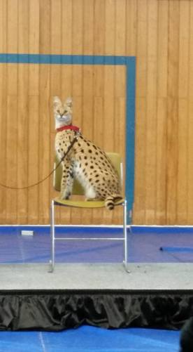 Rosie the Serval from the Edmonton Valley Zoo made an appearance!