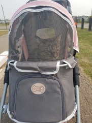 Off to the vet in the stroller!